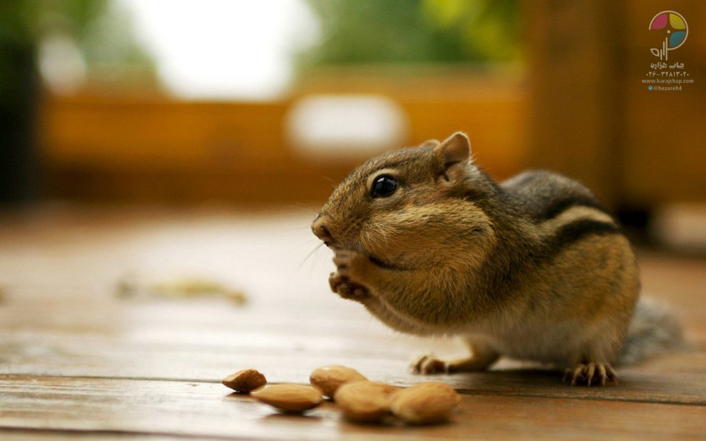 animals-nuts-backyard-chipmunks