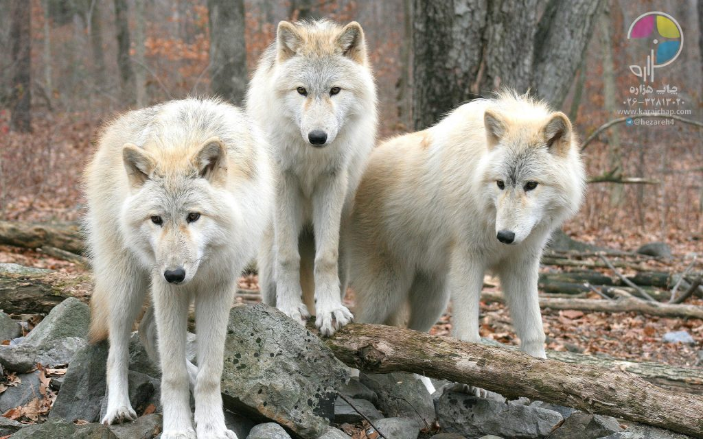 animals_wolves_best_widescreen_background_awesome_desktop_1920x1200_hd-wallpaper-1334919