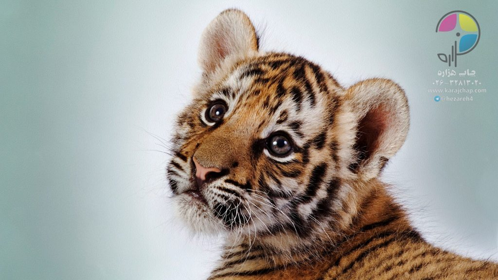 baby-tiger-wallpaper-high-definition-1920x1080